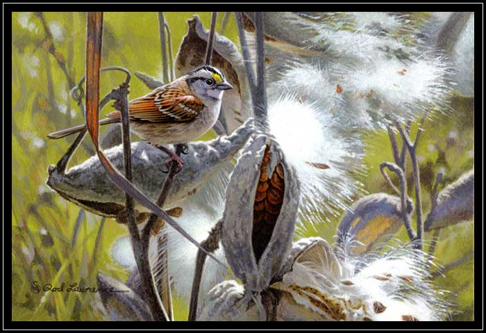 White-throated sparrow with milkweed pods